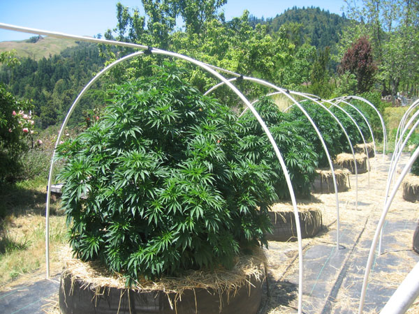 How to Grow Weed Outside