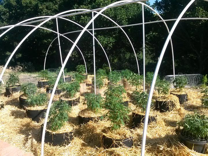 cannabis mulch
